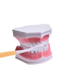牙科 牙齿模型口腔教学牙模 牙齿模型幼儿园 刷牙模型 牙模型齿科 2:1牙齿模型