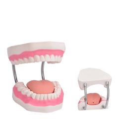 牙科 牙齿模型口腔教学牙模 牙齿模型幼儿园 刷牙模型 牙模型齿科 6倍刷牙模型
