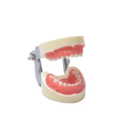 牙科 牙齿模型口腔教学牙模 牙齿模型幼儿园 刷牙模型 牙模型齿科 儿童软牙龈